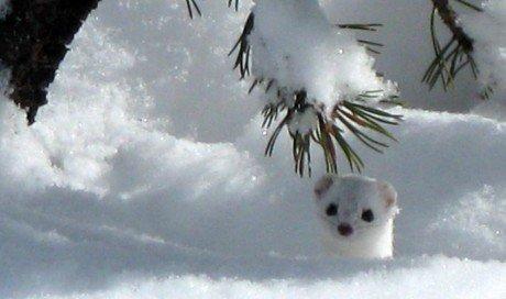 Marder im Schnee 460x272 Winter